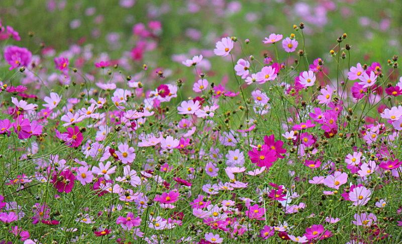 藤原スキー場 秋桜