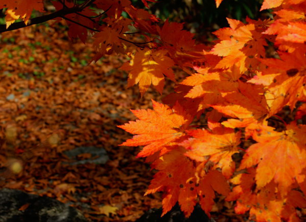 奥利根水源の森紅葉情報