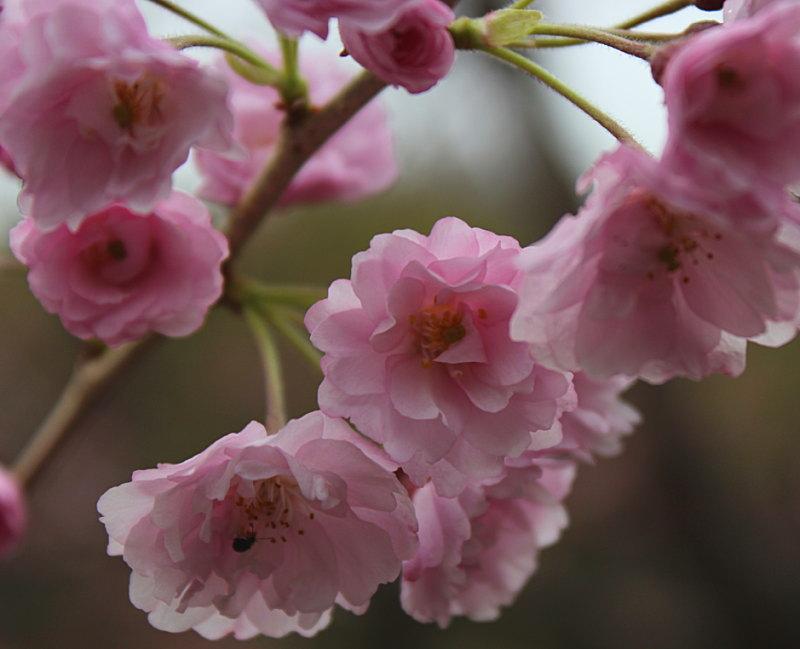 たむら しだれ桜