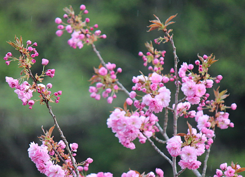 八重桜& 源泉掛け流し貸切露天風呂