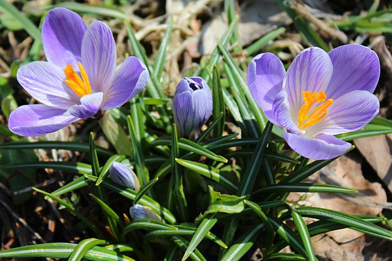 春の花クロッカス&源泉掛け流し貸切露天風呂